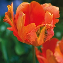 Tulip Orange Favourite Bulbs