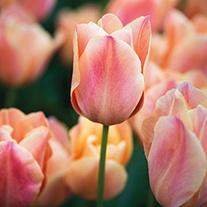 Tulip Stunning Apricot Flower Bulbs