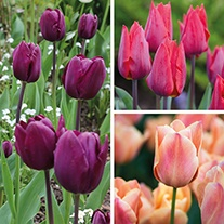 Tulip Late Flowering Collection Flower Bulbs