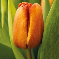 Tulip Brown Sugar Bulbs