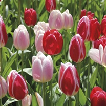 Tulip Candy Delight Mixed Bulbs