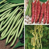 Climbing French Bean Veg Plant Collection