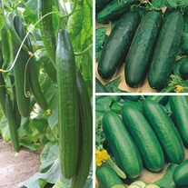 Cucumber 9cm Plant Collection