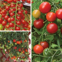 Basket and Container Tomato Plant Collection