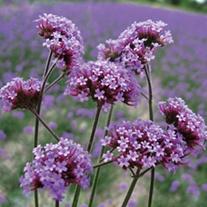 Verbena bonariensis AGM Potted Flower Plant