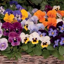 Viola Sorbet Mixed F1 Flower Plants