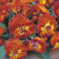 Viola Angel Amber Kiss Flower Plants