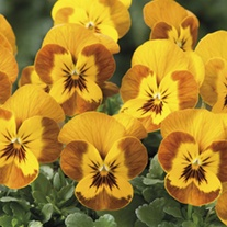 Viola Sorbet Honeybee F1 Flower Plants