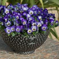 Viola Sorbet Neptune F1 Flower Plants