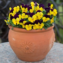 Viola Sorbet XP Yellow Jump Up F1 Flower Plants