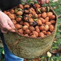 Walnut Franquette Fruit Tree