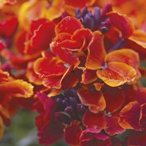 Wallflower Fire King Flower Plants