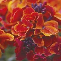 Wallflower Fire King Flower Plants