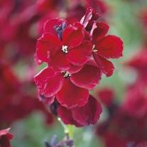 Wallflower Purple Shades Flower Plants