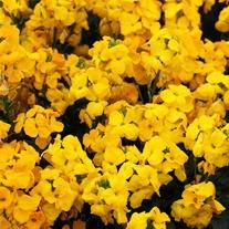 Wallflower Sugar Rush Yellow F1 Plants