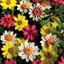 Zinnia Zahara Raspberry Lemonade Mix F1 Flower Plants