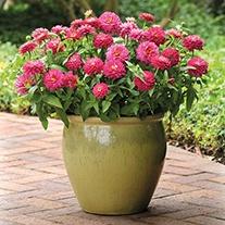 Zinnia Zahara Double Strawberry F1 Flower Plants