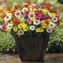 Zinnia Zahara Raspberry Lemonade plants