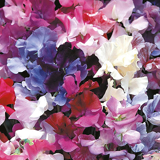 Sweet Pea (Tall) Horizon Mixed Flower Seeds