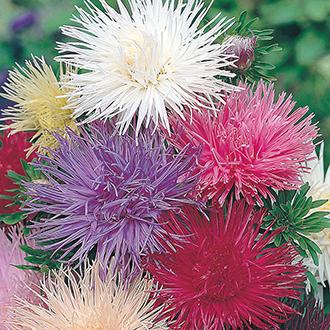 Aster (Tall) Ostrich Plume Mixed Flower Seeds
