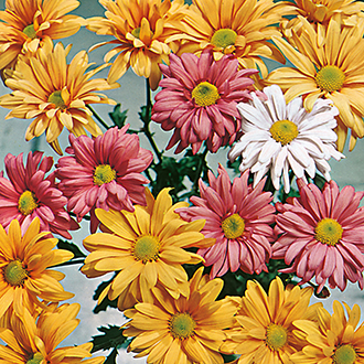 Chrysanthemum Indicum Korean Hybrids Flower Seeds
