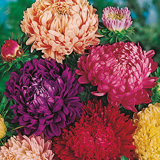 Aster (Tall) Truffaunt's Paeony Mixed Flower Seeds