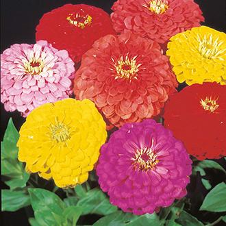 Zinnia Giant Dahlia Flowered Choicest Mixed Flower Seeds