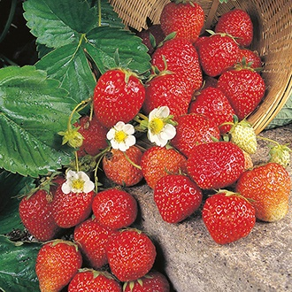Strawberry Fresca Seeds