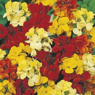 Wallflower Bedder Mixed Flower Seeds
