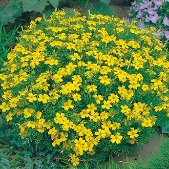 Tagetes Lemon Gem Flower Seeds