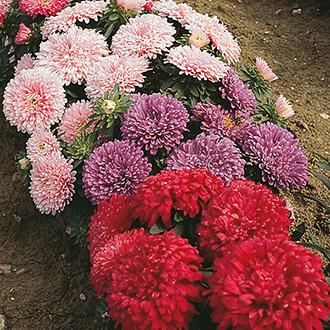 Aster (Dwarf) Colour Carpet Mixed Flower Seeds