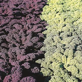 Kale Redbor F1 Seeds
