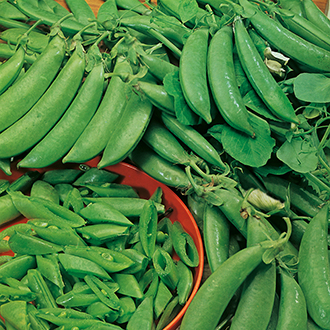 Pea (Snap Type) Jessy Seeds