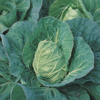 Cabbage Greyhound AGM Seeds