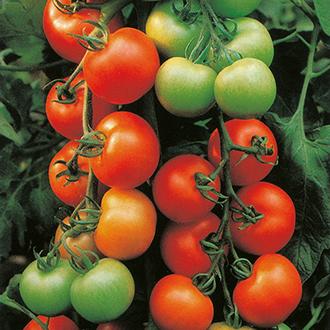 Tomato Ailsa Craig Seeds