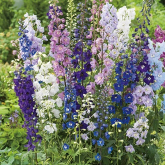 Delphinium Pacific Giants Round Table Mixed Flower Seeds