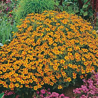 Tagetes Golden Gem Flower Seeds