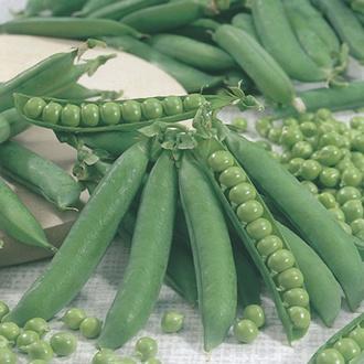 Pea Kelvedon Wonder (First Early) Plants