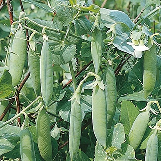 Pea (First Early) Kelvedon Wonder AGM Seeds