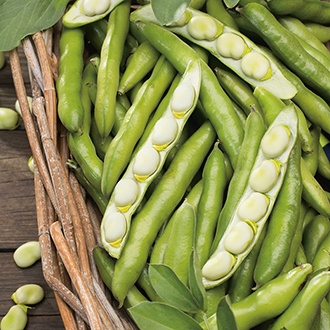 Broad Bean Bunyards Exhibition Seeds