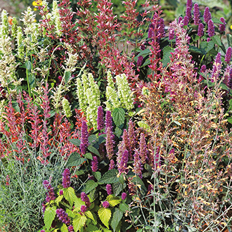 Agastache Fragrant Mixed Flower Seeds