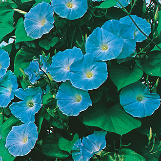 Morning Glory Heavenly Blue Flower Seeds