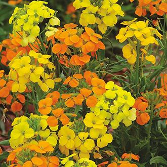 Wallflower Siberian Mixed Flower Seeds