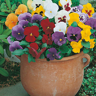 Pansy (Winter) Early Flowering Mixed Flower Seeds