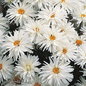 Chrysanthemum Crazy Daisy Flower Seeds