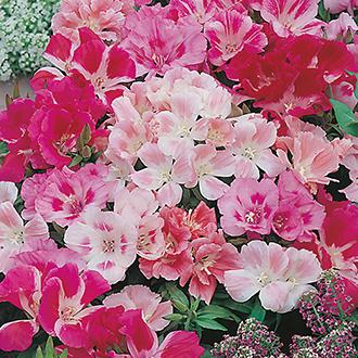 Godetia Dwarf Mixed Flower Seeds