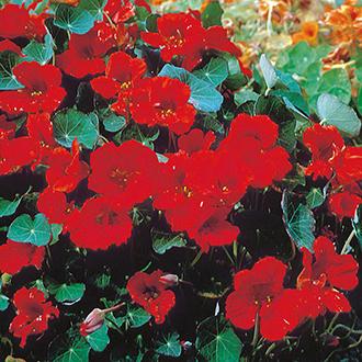 Nasturtium Empress of India Flower Seeds