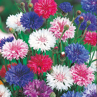 Cornflower Tall Mixed Flower Seeds