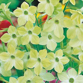 Nicotiana Lime Green Flower Seeds