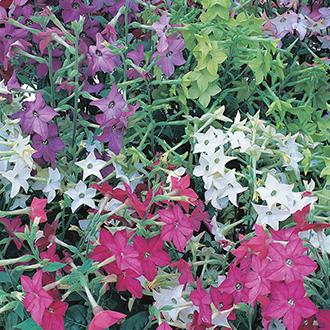 Nicotiana Perfume Mixed F1 Flower Seeds